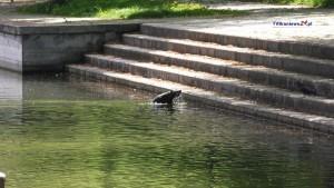 Wyszedł z rzeki i zabłądził Bóbr pływał w miejskim amfiteatrze
