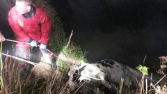 Krowa wpadła do rzeki, pomogli strażacy