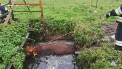 Strażacy uratowali byka. Zwierzę wpadło do szamba