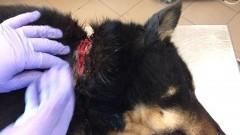 Trzymała psa na uwięzi. Łańcuch kaleczył i wrastał mu w szyję (drastyczne…