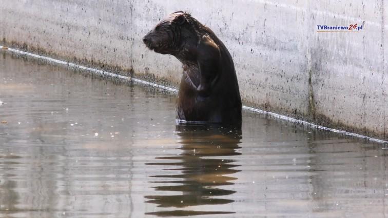 Wyszedł z rzeki i zabłądził. Bóbr pływał w miejskim amfiteatrze