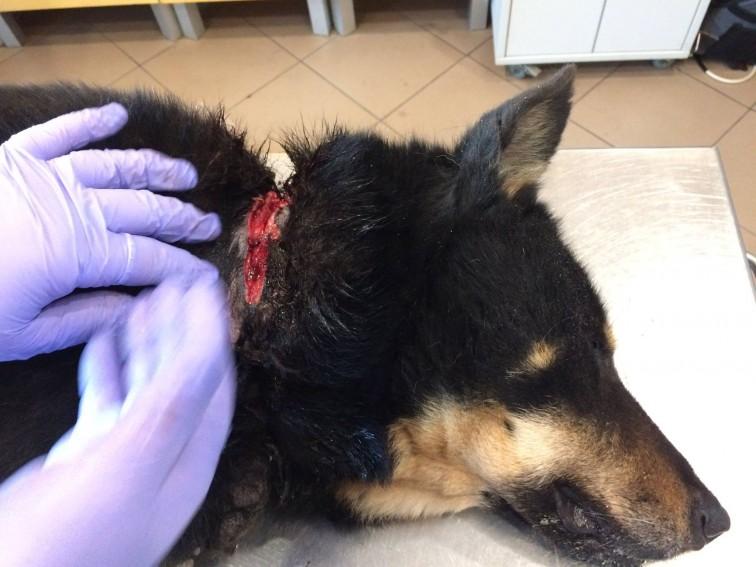 Trzymała psa na uwięzi. Łańcuch kaleczył i wrastał mu w szyję (drastyczne zdjęcia)