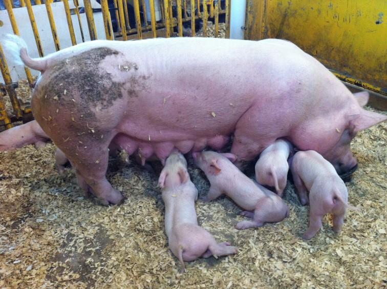 Afrykański pomór świń atakuje